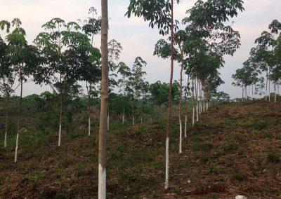 Inventario de carbono del proyecto de reforestación en el Cerro San Gil (Guatemala)