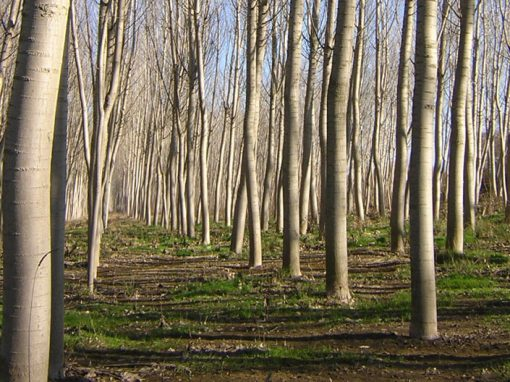 Management and improvement work in 162 ha of black poplar