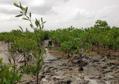 New visit to mangrove plantations in Senegal