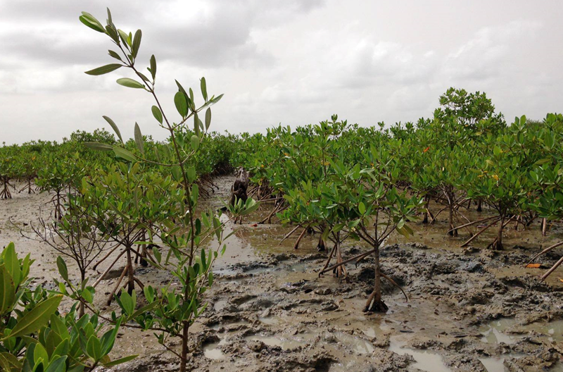 Nouvelle visite des plantations de mangroves au Sénégal