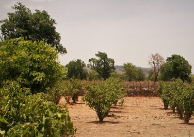 "Technical support and verification of carbon inventory for a reforestation project in Mali: ""Mali Jatropha Curcas Plantation Project"""