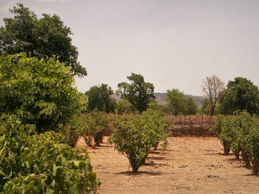 """Apoyo técnico y verificación del inventario de carbono de un proyecto de reforestación en Mali: """"Mali Jatropha Curcas Plantation Project"""""""