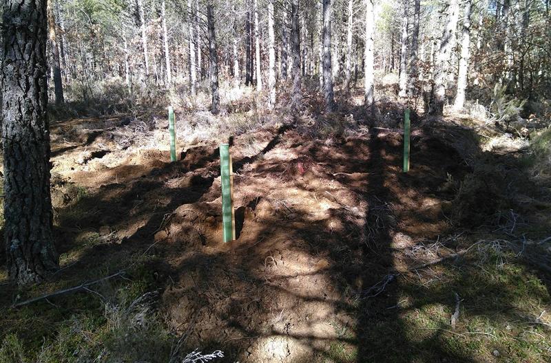 Repoblación forestal para restauración y diversificación de masas en Palencia