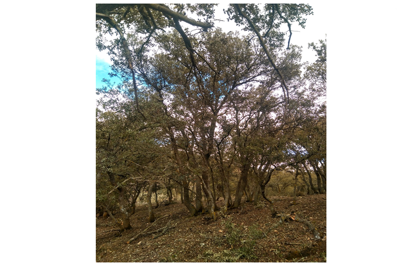 Aprovechamiento de leñas en encinares y robledales